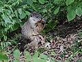 Groundhog (23810732648).jpg