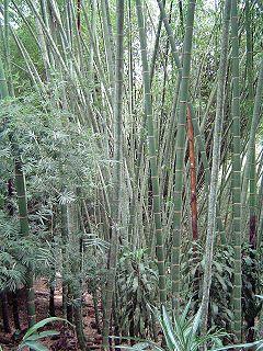 <i>Guadua</i> genus of plants