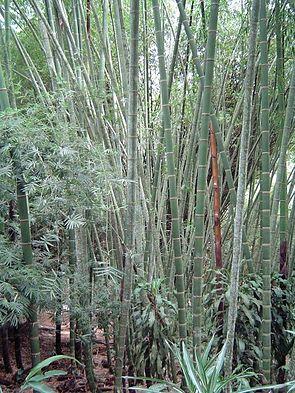 Guadua-Bambus in der Wildnis