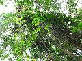 Guanandicheiodeespecies.JPG