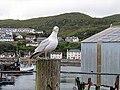 Gull at Mallaig Harbour - geograph.org.uk - 879929.jpg