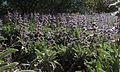 H20150319-0049—Salvia sonomensis—RPBG (16691903647).jpg