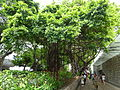 HK TST Nathan Road green Sidewalk Chinese Banyan trees Aug-2015 DSC (5).JPG