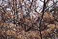 Hamamelis japonica - floraison.jpg