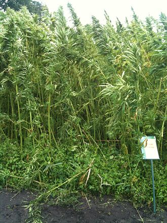 Hemp - Hemp grown for animal feed