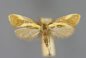 Harpella forficella (female)