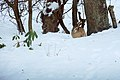 Harre in the Snow (5309923016).jpg