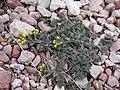 Hegyi ternye (Alyssum montanum).JPG