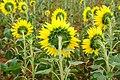 Helianthus annuus 9955.jpg