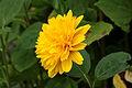 Helianthus x multiflorus (Soleil d'Or). Locatie De Kruidhof 02.JPG