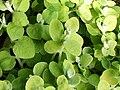 Helichrysum petiolare a1.jpg
