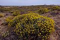 Helichrysum stoechas831.jpg