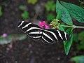 Heliconius charithonia (4506781073).jpg