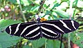 Heliconius charitonius (zebra longwing butterfly) (Florida, USA) 3 (16637727334).jpg