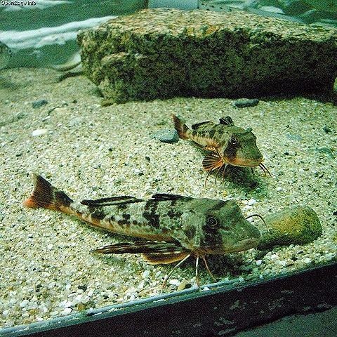480px Helidonichthys spinosus Sapphirine Gurnard saltwater fish