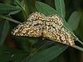 Heliomata glarearia (39115833270).jpg