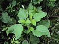 Heliotropium indicum 05a.JPG