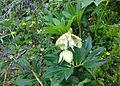 Helleborus niger Esino.jpg
