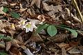 Helleborus niger PID736-1.jpg