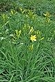 Hemerocallis lilioasphodelus kz06.jpg