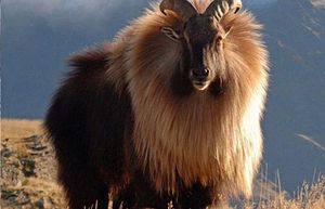 Himalayan tahr - H. jemlahicus in Nepal