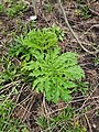 Heracleum mantegazzianum 126207889.jpg