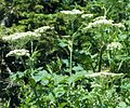 Heracleum sphondylium (5182548607).jpg
