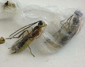 Pupa - Adult Hercus fontinalis emerging from cocoon