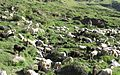 Herds Grazing.jpg