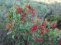 Heteromeles arbutifolia 03.jpg