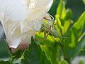 Heuschrecke frisst Hibiskus.jpg
