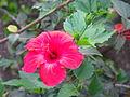 Hibiscus in Chuchiñi.JPG