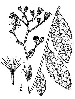 Hieracium-scabrum03