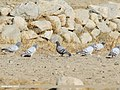 Hill Pigeons (Columba rupestris) and a Rock Dove (Columba livia), Gojal, Gilgit-Baltistan, Pakistan (26848688349).jpg