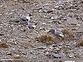 Himalayan Snowcock (Tetraogallus himalayensis) (38450276632).jpg