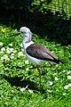 Himantopus himantopus -Pensthorpe Nature Reserve-8d.jpg