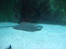 A dark-spotted stingray in an aquarium with a sandy bottom and a rocky far wall
