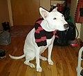 Hipster Dog (23989259596).jpg