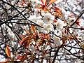 Hiroshimaeba Yamazakura, Cerasus jamasakura.jpg