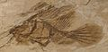 Histionotophorus bossani.JPG