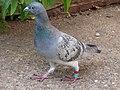 Homing Pigeon on path.JPG