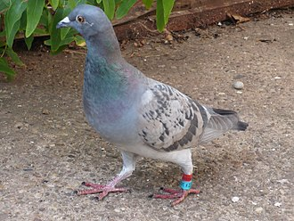 Homing pigeon - A homing pigeon on a path outside