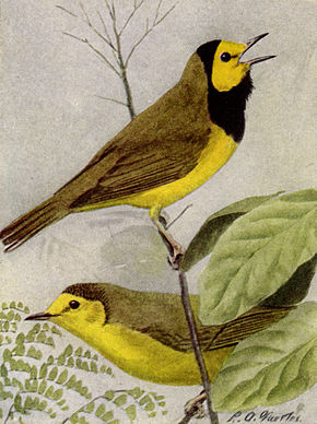 Description de l'image Hooded Warbler NGM-v31-p320-C.jpg.