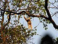 Hoolock Gibbon Namdapha.jpg