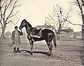 Horse belonging to Ulysses S Grant, Egypt, by Mathew Brady.jpg