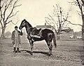 Horse belonging to Ulysses S Grant, Egypt, by Mathew Brady.jpg