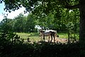 Horses off Mote Lane - geograph.org.uk - 1376636.jpg