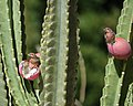 House Finches eating cactus fruit, California (31606714788).jpg