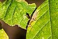 Hover Fly Parasite (26322696859).jpg