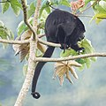 Howler Monkey (16572539262).jpg